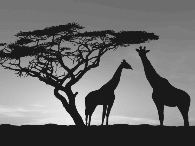 africa-wildlife-giraffes-trees-sky-photo