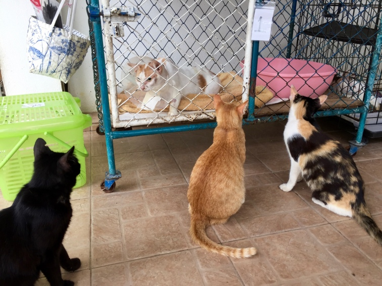 Some cats visiting/mocking their friend post kitty surgery