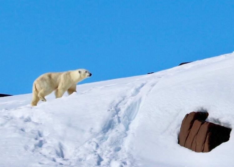 Polar Bear Snow