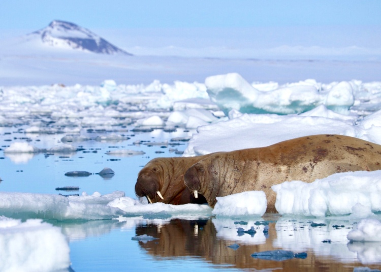 Walruses Mountain