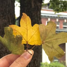 English Field Maple